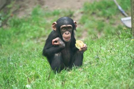 schimpansen-snack